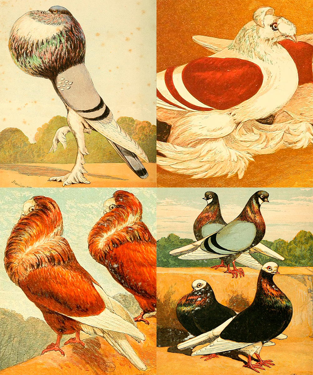 Varieties of pigeon