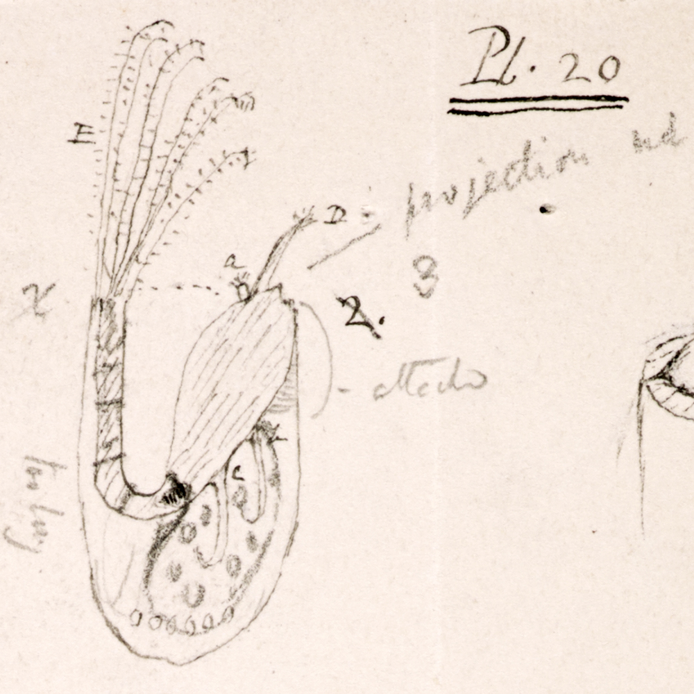 """Mr. Arthrobalanus"" a barnacle observed by Darwin on board the Beagle"